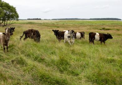 Skotsk kvægrace fra Galloway skal afgræsse engene